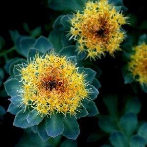 Rhodiola rosea is a beautiful flowering plant native to cold climates